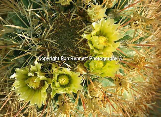 Yellow Cacti flower,