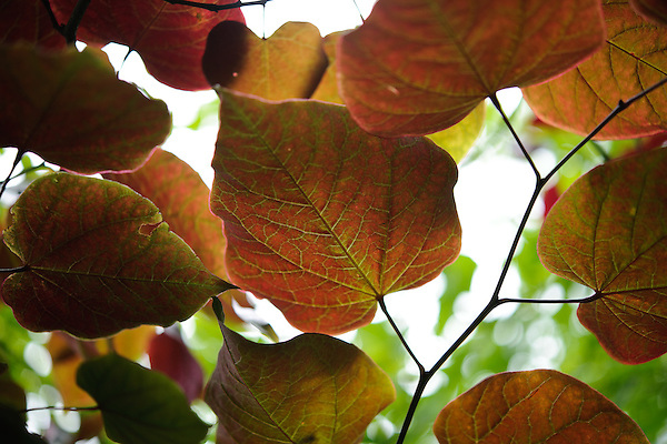 Cercis 'Forest Pansy'