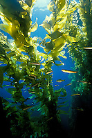 Giant kelp, Macrocystis pyrifera, canopy, California, Pacific Ocean