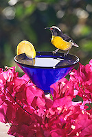 Bananaquit on a cocktail glass<br />
