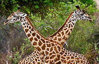 2 Maasai giraffes exhibiting necking behavior in Tarangire National Park in Tanzania, East Africa