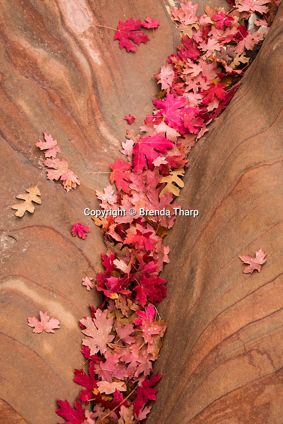 Autumn leaves fill a depression in sandstone, Zion National Park, Utah.
