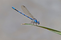 338430015 a wild male california dancer argia argioides perches on a reed along piru creek near frenchmans flats los angeles county california united states