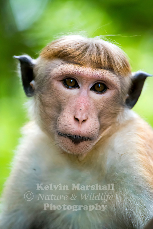 """Toque macaques (Macaca sinica) is a reddish-brown-coloured Old World monkey endemic to Sri Lanka, where it is locally known as the rilewa or rilawa (Sinhala රිළවා), (hence """"rillow"""" in the Oxford English Dictionary). It is named for the toque-shaped whorl of hair on its head, rather like the bonnet of the related bonnet macaque. Habarana - Sri Lanka."""