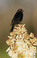Brown-headed Cowbird, Molothrus ater, male on blooming Trecul Yucca (Yucca treculeana), Lake Corpus Christi, Texas, USA, March 2003