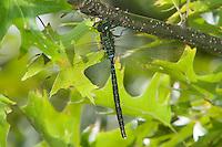 Shadow Darner (Aeshna umbrosa) Dragonfly - Male, Silver Lake Preserve, West Harrison, Westchester County, New York