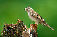 House Sparrow - Passer domesticus - female