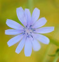 Chicory (Cichorium intybus)<br /> Sardinia, Italy