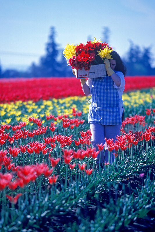 Tulip flower worker. Near Woodburn, Oregon.
