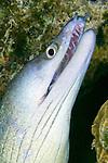 Gymnothorax vicinus, Purplemouth moray, Bonaire
