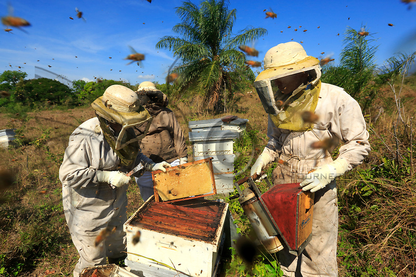 The Africanized bees usually make preventive attacks. They attack in the greatest number and follow their victim over hundreds of metres. ///Les abeilles africanisées ont l'habitude d'attaquer de façon préventive. Elles attaquent en plus grand nombre et suivent leur victime sur des centaines de mètres.