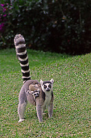 Ring-tailed Lemur (Lemur catta) Madagascar.