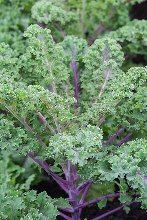 Kale 'Redbor'. Its red tinged leaves turn crimson in cooler weather.