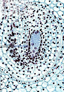 Longitudinal section of a Lily ovary ovule with migrating nuclei ,Lilium,. LM X20.