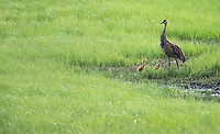 A Sandhill Crane takes its colts on walkabout.
