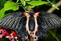 Common Mormon, Papilio polytes