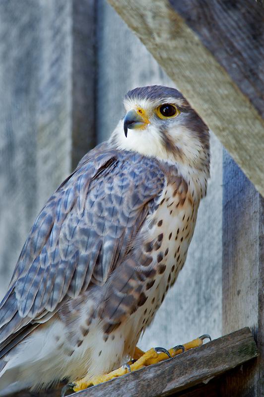 Perrigrin Falcon. Oregon High Desert Museum. Central Oregon