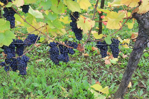 Grapes, vinyards, Turckheim, Alsace, France, grapevine, agriculture, farmland,