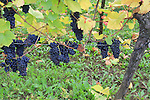 Grapes, vinyards, Turckheim, Alsace, France, grapevine, agriculture, farmland,