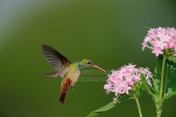 Buff-bellied Hummingbird (Amazilia yucatanenensis), adult in flight feeding on Pentas, Sinton, Corpus Christi, Coastal Bend, Texas Coast, USA