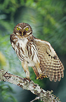 Ferruginous Pygmy-Owl, Glaucidium brasilianum, adult stretching wing, Willacy County, Rio Grande Valley, Texas, USA