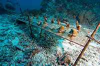 A coral growth experiment anchored to the bottom at West of Eden. The Similan islands, Andaman Sea, Indian Ocean, Thailand, Asia