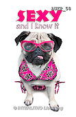 Samantha, ANIMALS, REALISTISCHE TIERE, ANIMALES REALISTICOS, funny, photos+++++Pugs Party master,AUKP58,#a#