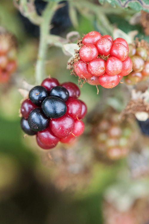 """Redberry"" is the term used when parts of blackberries stay red and do not ripen fully, especially later in the summer. Tiny redberry or blackberry mites are the reason."