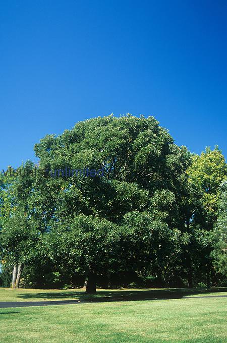 Post Oak (Quercus stellata), North America.