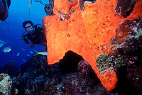 DIVER NEAR ENCRUSTING SPONGE ON REEF<br /> Red Volcano Sponge<br /> A demosponge, encrusting sponges are made of spicules consisting of fibers of the protein spongin, the mineral silica, or both.