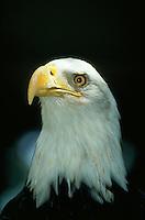 Bald Eagle, close-up.