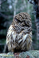 OW01-011d   Barred Owl - turning head around - Strix varia