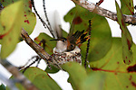 Bahama Woodstar hummingbird on nest in seagrape tree, Andros Island, bahamas, out islands