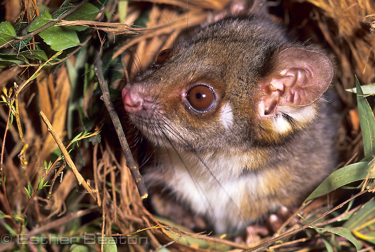 Ringtail Possum (Pseudocheirus perigrinus)in bark-lined nest. Southeastern Australia.