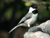 Carolina chickadee adult at bird bath