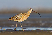 Adult Long-billed Curlew (Numenius americanus) foraging on barrier island tidal flats. Terrebonne Parish, Louisiana. October.