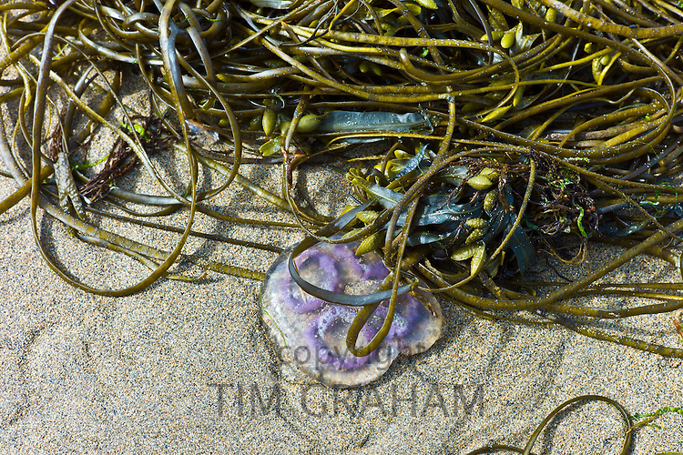 Common Moon Jellyfish Aurelia Aurita, Sea Lace seaweed and Bladder Wrack at Spanish Point, Co. Clare, Ireland