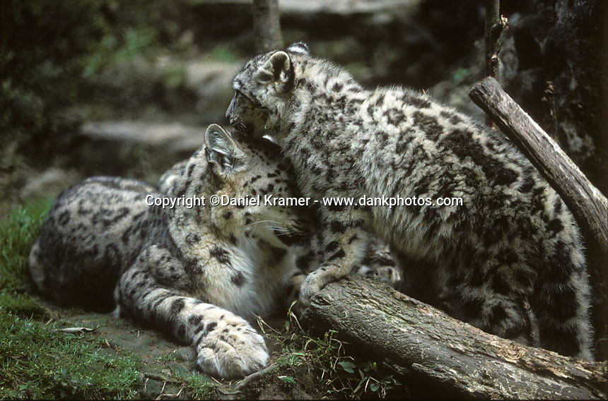 Snow Leopards at the Padmaja Naidu Himalayan Zoological Park in Darjeeling in 1996. The Snow Leopard Breeding Project started in 1986 and has been one of the most successful breeding programmes of the species in South-East Asia. In the last 20 years, 40 snow leopards were born in captivity at the zoo.