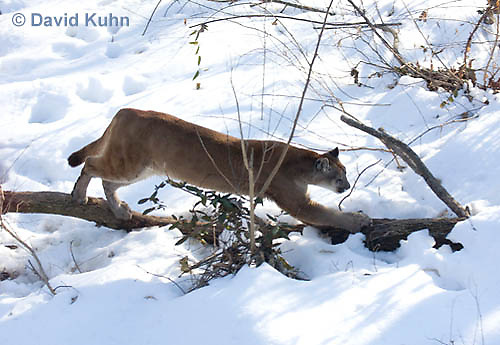 0218-1016  Mountain Lion (Cougar) in Snow, Puma concolor (syn. Felis concolor)  © David Kuhn/Dwight Kuhn Photography.