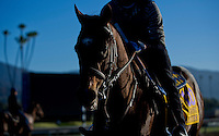 Paynter, trained by Bob Baffert, trains for the Breeders' Cup Classic at Santa Anita Park in Arcadia, California on October 30, 2013.