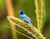 Adult male indigo bunting feeding on seed head at Paradise Pond