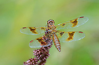 304560012 a wild female eastern amberwing perithemis tenera perches on a flower stem along the edge of roper lake in roper lake state park cochise county arizona