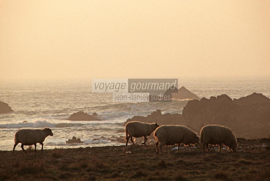 Europe/France/Bretagne/29/Finistère/Ile d'Ouessant: Moutons sur la Côte Sauvage - Moutons de prés salés