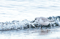 Sanderling (Calidris alba) foraging on shoreline. Studland, Dorset, UK.