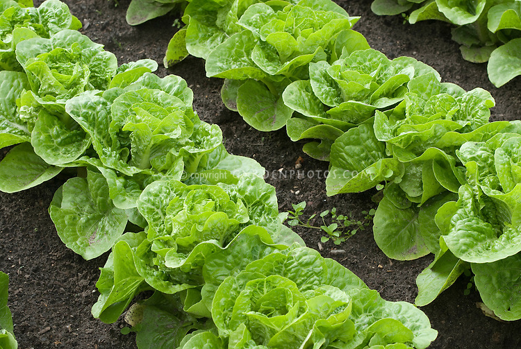 Lettuce 'Bubbles' growing in rows in ground in vegetable garden, compact cos lettuce