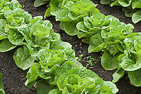 Lettuce 'Bubbles' growing in rows in ground in vegetable garden
