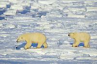 01874-07218 Polar Bear (Ursus maritimus) on the ice of Hudson Bay  Churchill MB