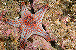 Sea of Cortez, Baja California, Mexico; a red and grey Panamic Cushion Star (Pentaceraster cumingi), playing host to hundreds of baby brittle stars, sits on the rocky reef