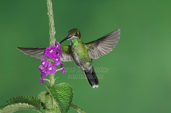 Green-crowned Brilliant, Heliodoxa jacula, Female in flight feeding on Porterweed(Stachytarpheta), Central Valley, Costa Rica, Central America