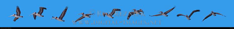Brown Pelican, Flight Study, Ballona Creek, Southern California
